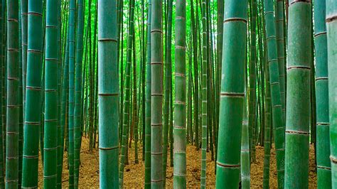 OPINION: BAMBOO TAKING ROOT IN AFRICA   THEWILL
