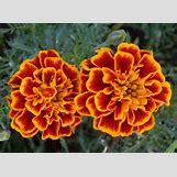Marigold Flower Wallpaper | 1600 x 1167 jpeg 361kB