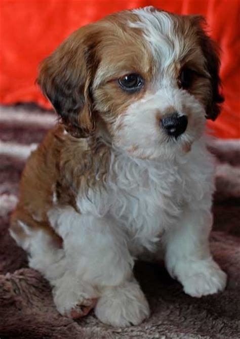 Cavalier Puppy For Sale In South Florida