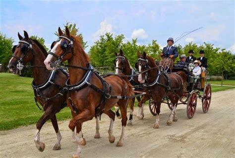 carrozze con cavalli acquaviva attacchi in eleganza sfilata per le vie