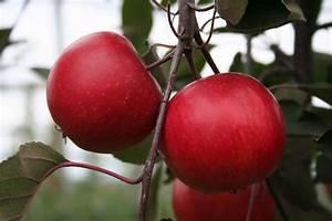 Apfelbaum Hochstamm Kaufen : easytree apfel redlove calypso im lubera online shop kaufen ~ Orissabook.com Haus und Dekorationen