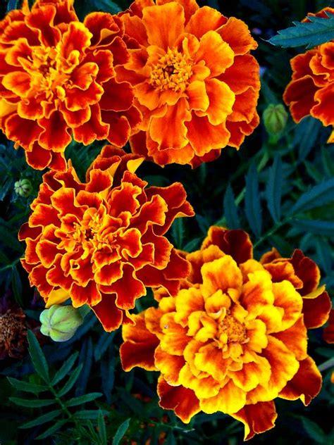 french marigold honeycomb benih purie garden