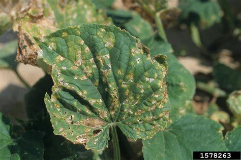 angular leaf spot  cucumber pseudomonas syringae pv