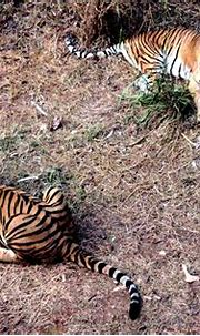 Dumbfounding Facts About Sumatran Tigers