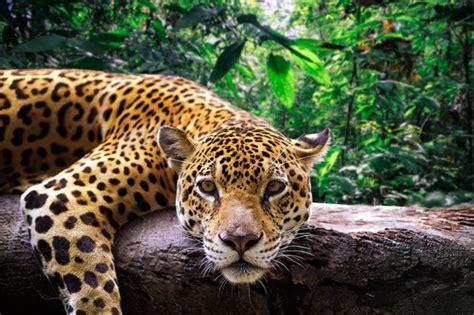 jaguar jungle rainforest animal amazon peru facts animals peruvian resting zoo national jaguars park wildlife cat amazonian getty zealand protect