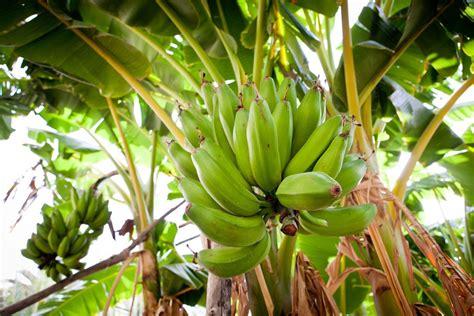culture bananier en pot engrais bananier composition crit 232 res de choix ooreka