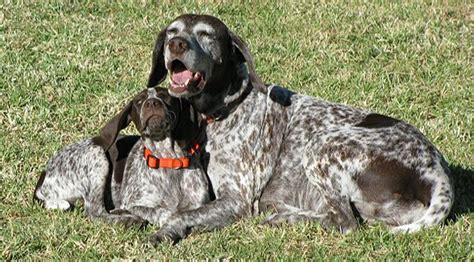 german short haired pointer hunting dog waiting for a