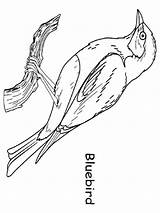 Coloring Bluebird Pages Birds Printable Colors Recommended Mycoloring sketch template