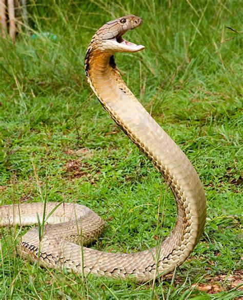 งูจงอาง King Cobra