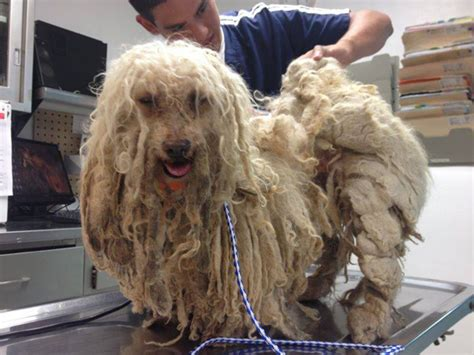 cruelty investigation dogs  matted  couldnt move