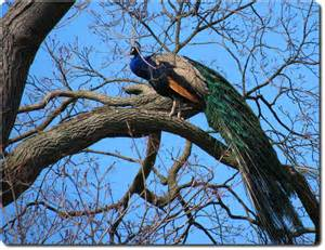 file indian peafowl peacock in a tree jpg wikimedia commons