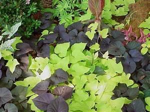 Orange and Purple Sweet Potato Plants   Yard Stuff   Pinterest