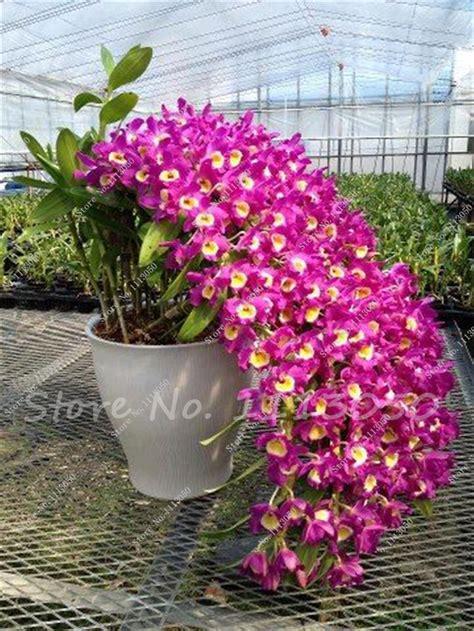 orchid plant popular rare orchid plants buy cheap rare orchid plants lots from china rare orchid plants