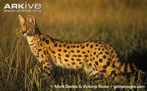 serval  parody wiki fandom powered  wikia