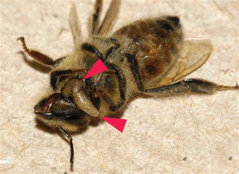 Parasite Fly Turns Bay Area Honeybees Into 'Zombies' | KQED