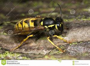 Schwarze Wespe Deutschland : wespe insekt nahaufnahme makro lizenzfreies stockfoto bild 6522095 ~ Whattoseeinmadrid.com Haus und Dekorationen