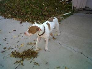 Found White and Brown Pit Bull - Houston SPCA