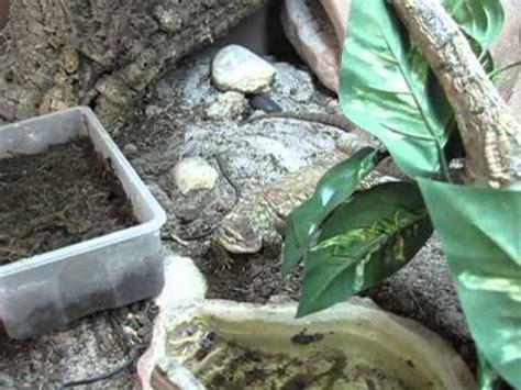 mes varans 224 queue 233 pineuse dans leur nouveau terrarium