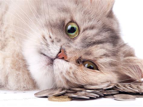 kostet das chippen von katzen katzen chippen