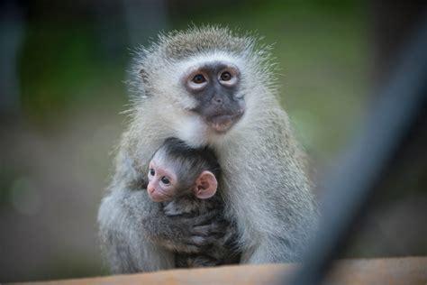 Heart of Africa Welcomes Baby Vervet Monkey | Doovi