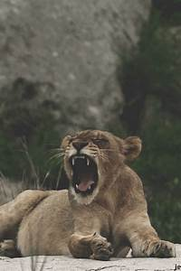 lion gif on Tumblr