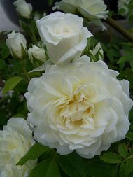 Climbing White Rose Flowers