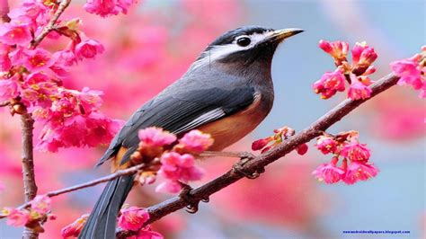 spring birds wallpaper  wallpapersafari