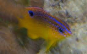 Longfin Damselfish Stegastes ncaeus Caribbean Fish