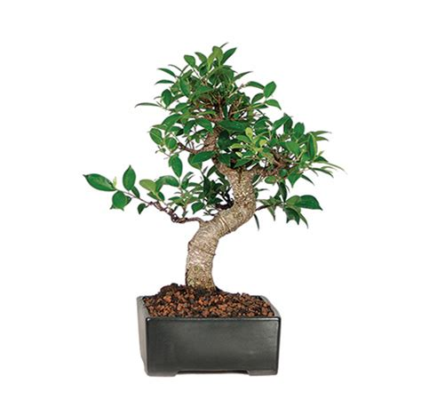 Indoor Bonsai Trees Bonsai  Ee  Birthday Ee   Gifts Beginner Bonsai