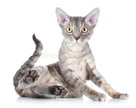 Cat Breed Devon Rex Stock Image. Image Of Kitty, Pussycat