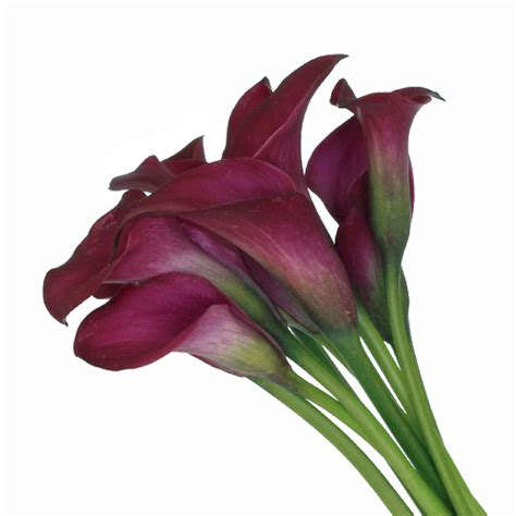 calla colors berry burst mini colored calla