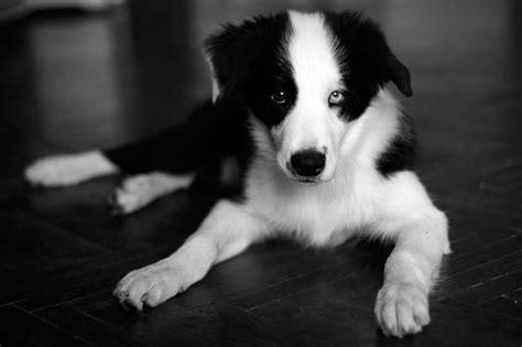 perros  ojos de diferentes colores perros amigos