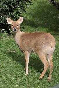 Chinese Water Deer (Hydropotes inermis) female | ZooChat