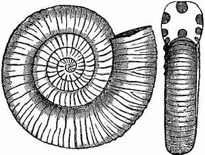 Ammonites Communis