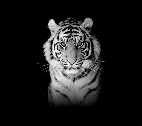 wallpapers harimau wallpaper cave