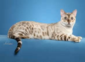 snow bengal cat bengal cats bengal kittens for snow bengal mn