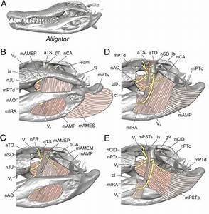 Alligator jaw musculature   Dragon   Pinterest   Figs and ...