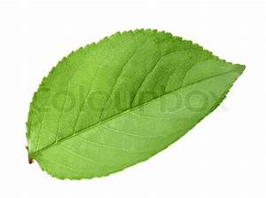 Single green leaf of apple-tree | Stock Photo | Colourbox