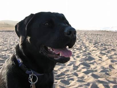 Lab Dogs Labrador Wallpapers Dog Desktop Retriever