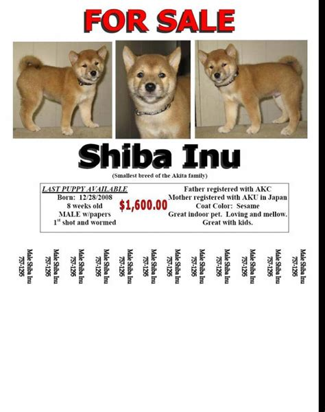 Puppy For Sale Flyer Templates by Shiba Inu Puppy For Sale Gt Gt Gt Gt Gt Gt Look