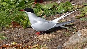 Arctic Terns - Press Office - Newcastle University
