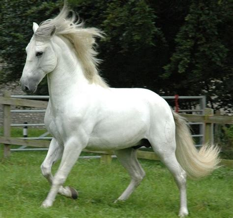 andalusian horse horses most spanish grey hd pre known pure weneedfun main wallpapers detail