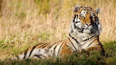 Best Animal Wallpapers - cool tiger wallpaper for desktop hd wallpapers