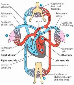 Image Of Cardiac Cycle