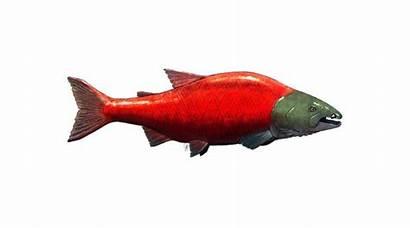 Salmon Toothed Spike Profile Paleo Jacob Biewer