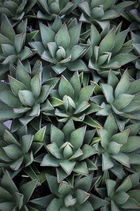 agave plants buy agaves plants for sale and for sale on pinterest