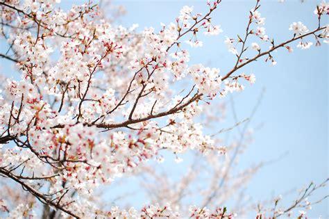 cherry blossom tree l cherry blossom tree branch