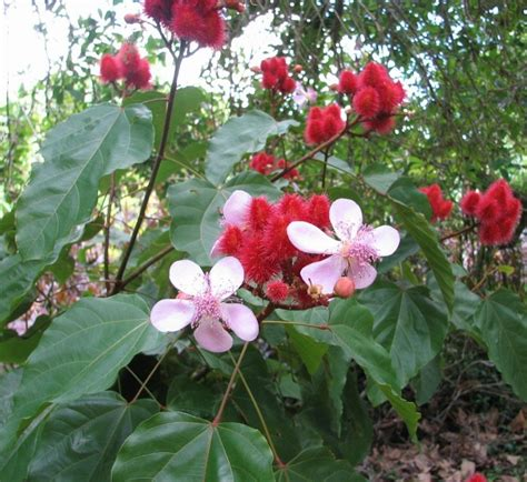 pictures of lipstick plant lipstick plant annatto bixa orellana 50 seeds