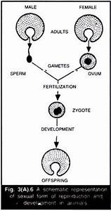 Asexual and Sexual Reproduction in Animals (With Diagram)
