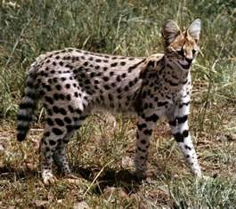 serval cats serval big cat diary